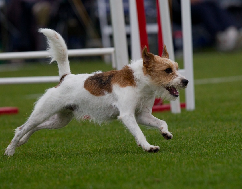 Asterix DM finale i agility